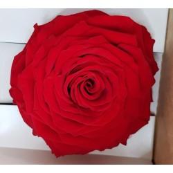 ROSE STABILIZZATA X1 RED