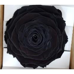 ROSE STABILIZZATA X1 BLACK