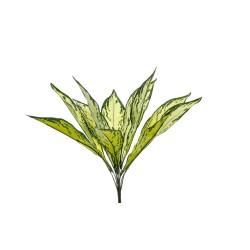 DRACENA PLANT X 11