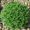 Rucola Orto Gr.5(semi)